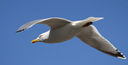 Herring_Gull.jpg